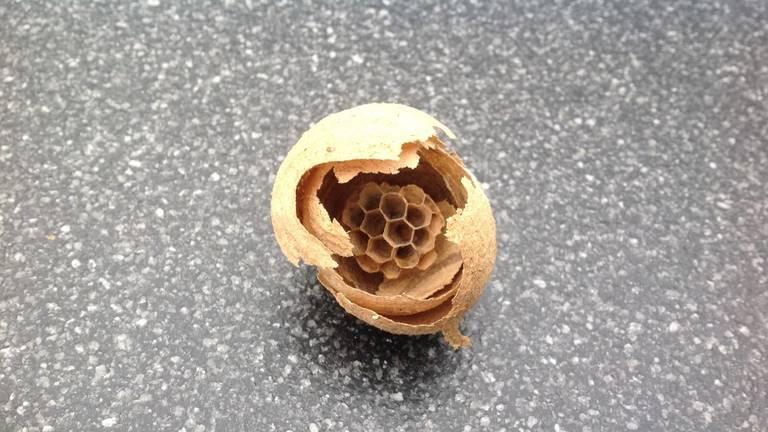 Het begin van een wespennest (foto: Anneke van de Klundert).