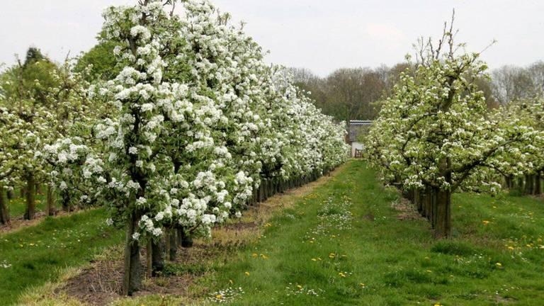 De lente komt eraan, maar fruittelers moeten hun bomen eerst nog tegen flinke nachtvorst beschermen. (Archieffoto: Martha Kivits)