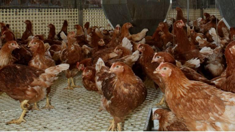 Animal Rights bracht in beeld hoe de toestand is bij de kippen (Archieffoto).