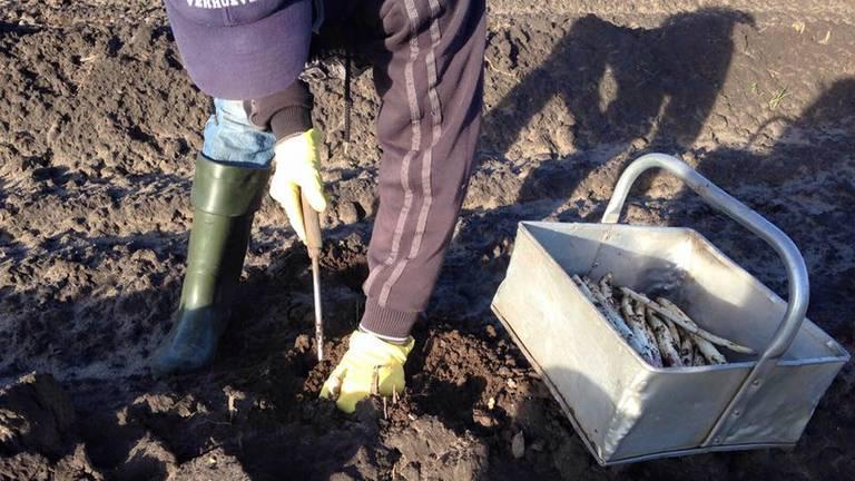 Eerste asperges van de volle grond komen recordvroeg. (Archieffoto)