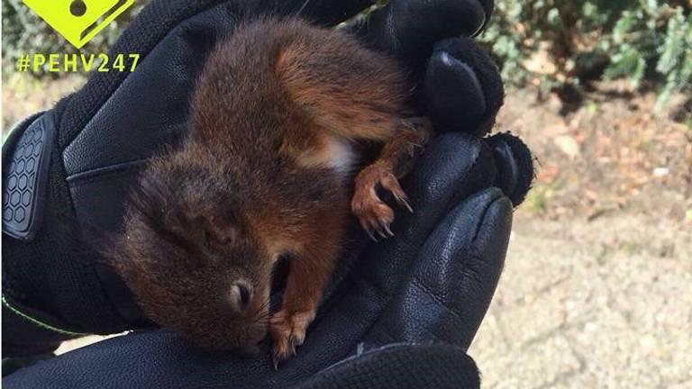 Het eekhoorntje in de hand van de agente. (Foto: Facebook politie Eindhoven).