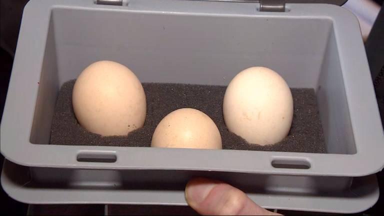 De drie eieren waar Manon mee aan de slag gaat (foto: Jos Verkuijlen).
