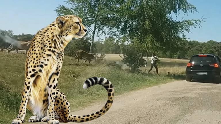 Een Franse familie stapte vorig jaar uit om luipaarden in de Beekse Bergen van dichtbij te zien. (Fotomontage: archief)