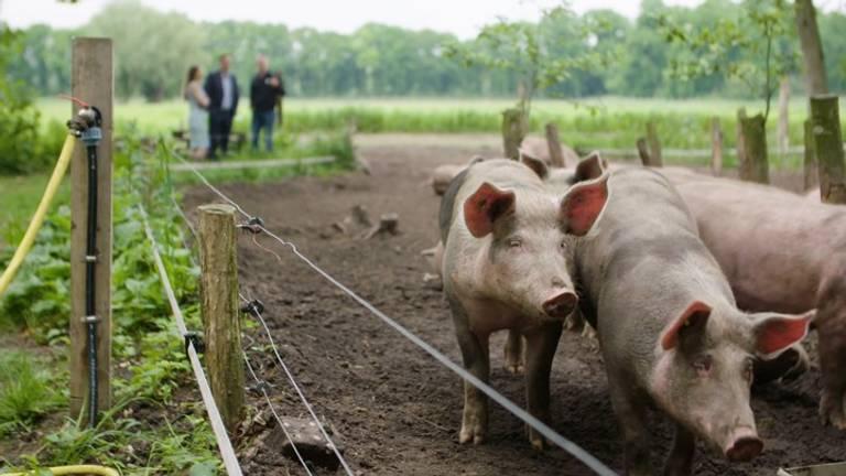 Een paar van de varkens van Herenboerenboeren Wilhelminapark. Foto: Brabant 2050