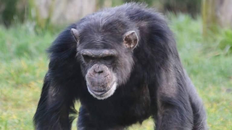 Chimpansee Dirk overleed na een stoeipartij. (Foto: Facebook Dierenrijk)