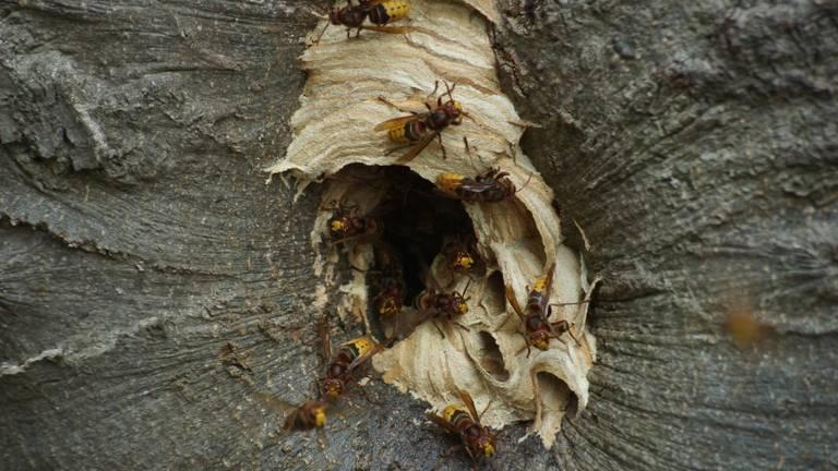 Het nest van de hoornaars (foto: Erik Haverhals/Fotopersbureau Midden Brabant)