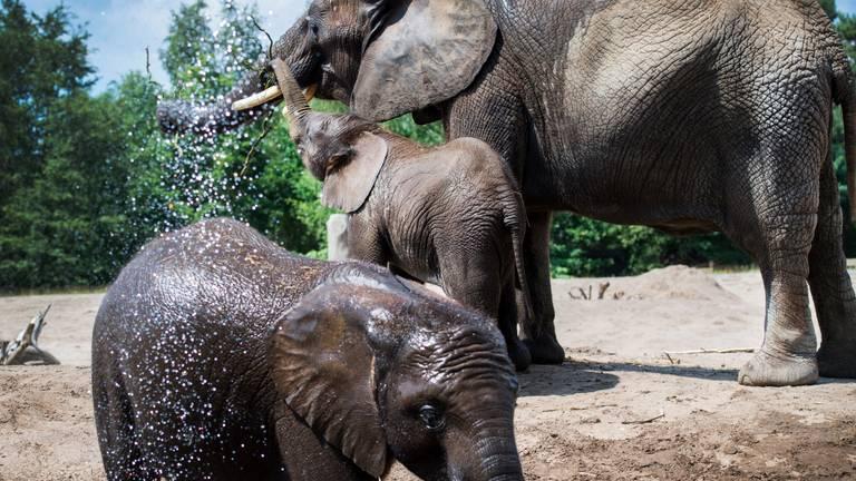 Verkoeling voor de olifanten in de Beekse Bergen. (Foto: ANP)