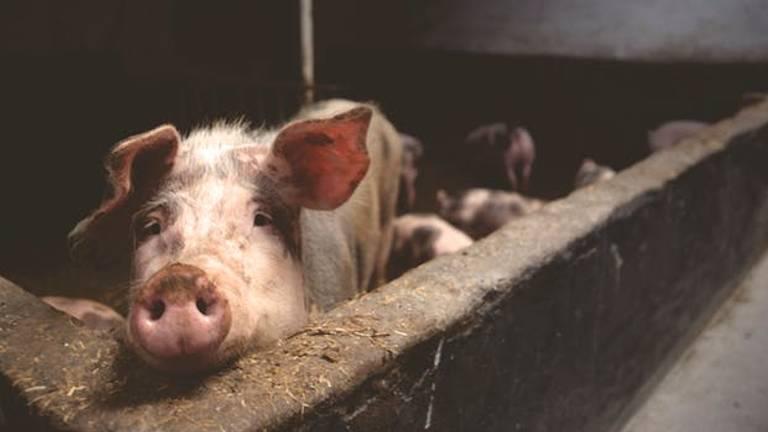 Kees maakte zijn varkens zindelijk (archieffoto).