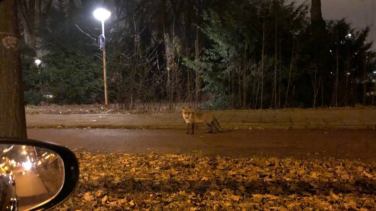 Jolanda kwam de vos rond halfeen 's nachts tegen. (Foto: Jolanda)