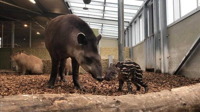 Tapir Joep vlak na zijn geboorte. (Foto: Zie-Zoo)