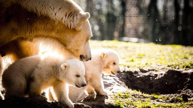 De jonge ijsbeertjes in Dierenrijk (foto: Rob Engelaar)