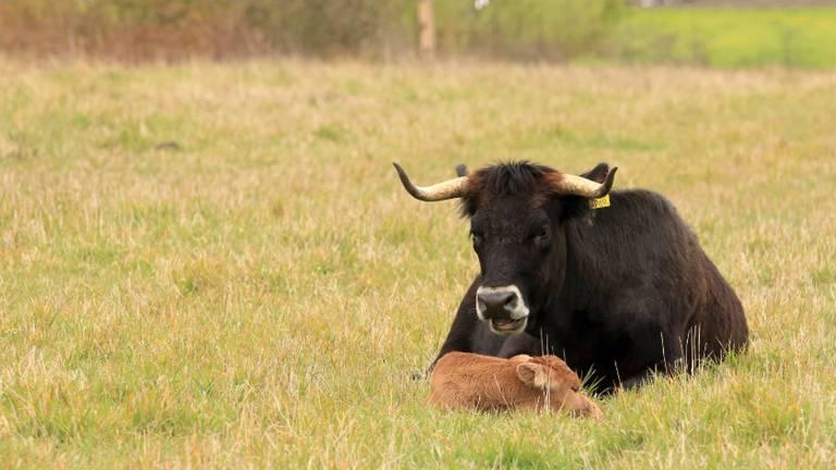 Een tauros met haar jong in de Maashorst. Foto: archief.