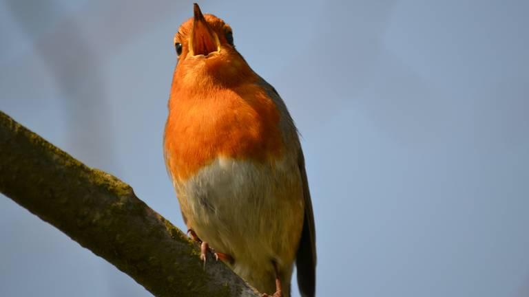 Een zingende roodborst.