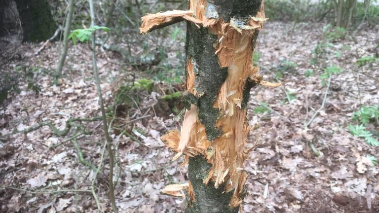 Kapot gescheurde schors van een boom. Foto: Luc Roosen