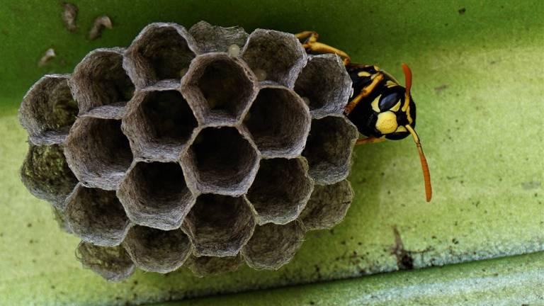 Wat moet je doen als je een beginnend wespennest vindt? (Foto: Jan van Esch)