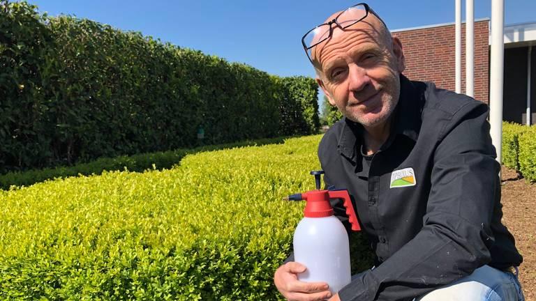 Buxuskweker Adrie van Dun gebruikt biologisch bestrijdingsmiddel tegen de buxusmot (foto: Erik Peeters)