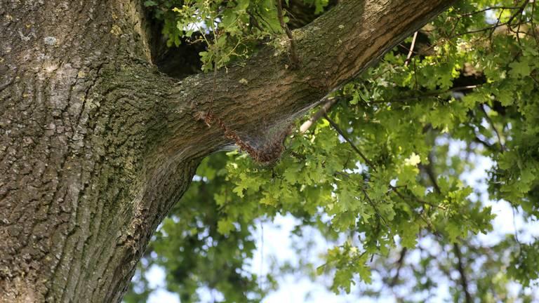 Een nest met eikenprocessierupsen. (Foto: Karin Kamp)