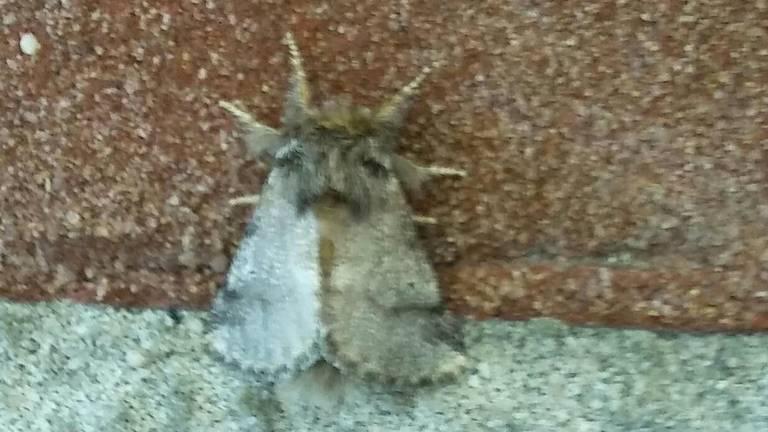 De vlinder van de eikenprocessierups. (Foto: Martien Pennings)