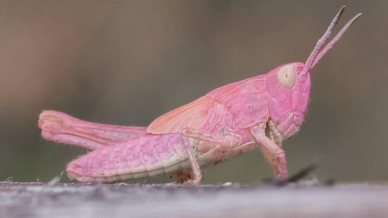 De roze sprinkhaan is heel erg zeldzaam (Foto: Bert van Beek).