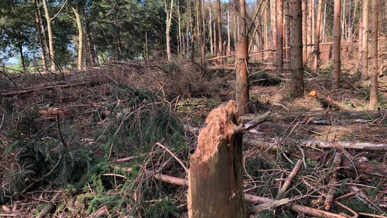Dode Fijnsparren in het Leenderbos