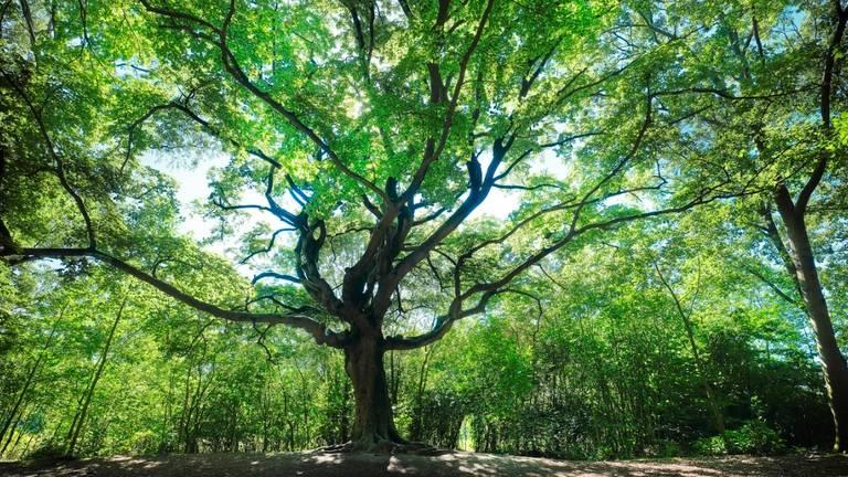 De Heksenboom van Zwarte Kaat. (Foto: Mark Kohn)