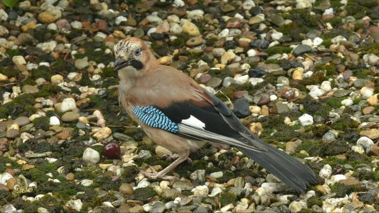 Een Vlaamse gaai. Deze vogel is niet gevangen. (Archieffoto: Pixabay)