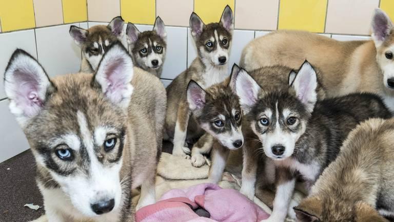 Heel veel mensen willen een van de pups adopteren (foto: Theo Peeters).
