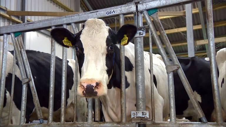 Brabantse boeren moeten voor 2024 hun verouderde stallen vernieuwen (archieffoto).