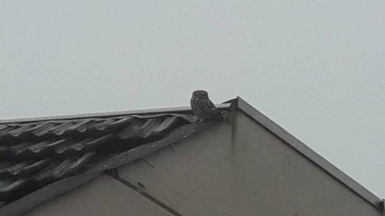 Een steenuil bij zijn uitkijkpost op dak. (Foto: Marianne Jansen)