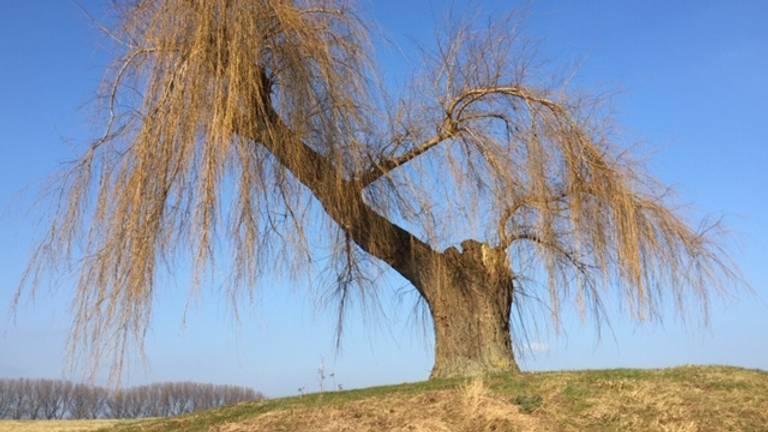 De boom op de dijk 'die alles zag' en de strijd overleefde (foto: Willem-Jan Joachems)