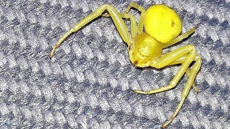 Een krabspin in een tuinkas. (Foto: Jan Otten)