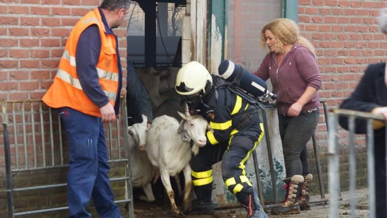 De geiten werden door de brandweer uit de stal gehaald. (Foto: FPMB)