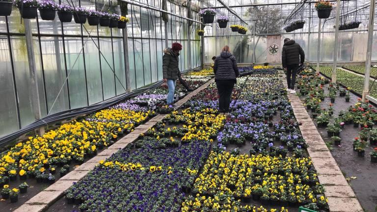 Bezoekers aan de kwekerij kunnen de komende dagen gratis ruikers ophalen (foto: Perry Pijnen).