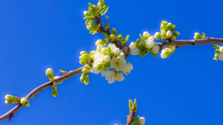 Bloesem bij een strakblauwe lucht (foto: Ab Donker)