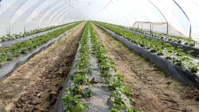 Over zes weken hangen deze planten vol met aardbeien. (foto: Raoul Cartens)