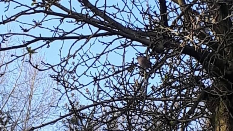 Een tjiftjaf in een boom (foto: Adeline Besselink).