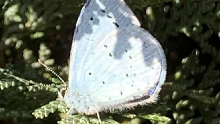 Een boomblauwtje (foto: Yolanda Kroef).