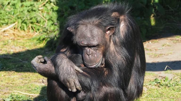 Dit is de tweede baby chimpansee die dit jaar in het safaripark geboren is (foto: Beekse Bergen).