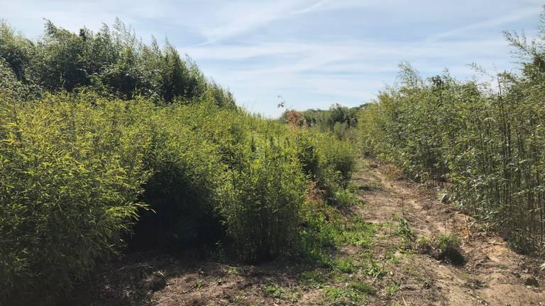 Het veld waar de bamboe voor de panda's wordt gekweekt (Foto: Alice van der Plas)