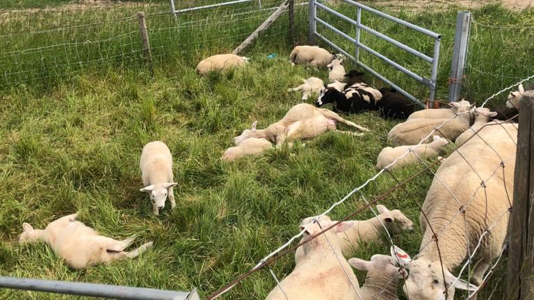 Doodgebeten schapen in Bokhoven