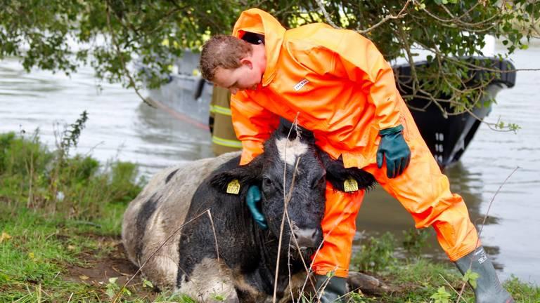 Een van de brandweermannen geeft de koe een schouderklopje (foto: Saskia Kusters).