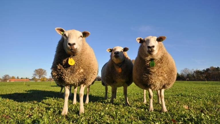 De schapen hadden het warm vandaag (foto: Ben Saanen).