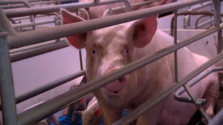 Een varken van boer Arie.