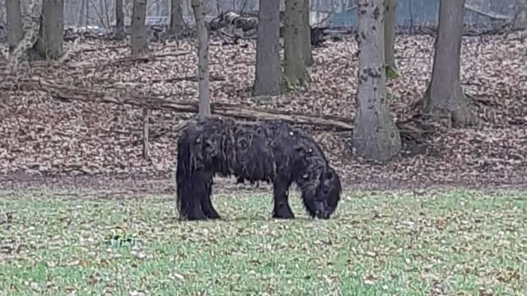 De gestolen pony is weer terecht (foto: politie Asten).