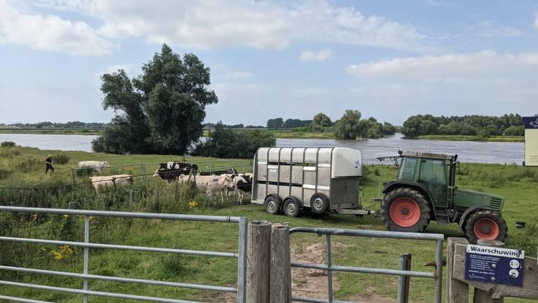 Koeien aan de Maas worden ook geëvacueerd (foto: Cindy Bekkers)