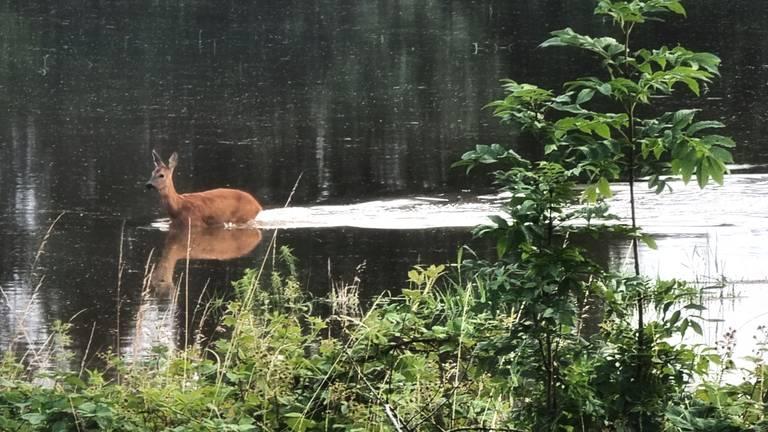 Een ree zoekt een droge plek nu het waterpeil stijgt bij Vierlingsbeek. (Foto:Antwan Terburg)