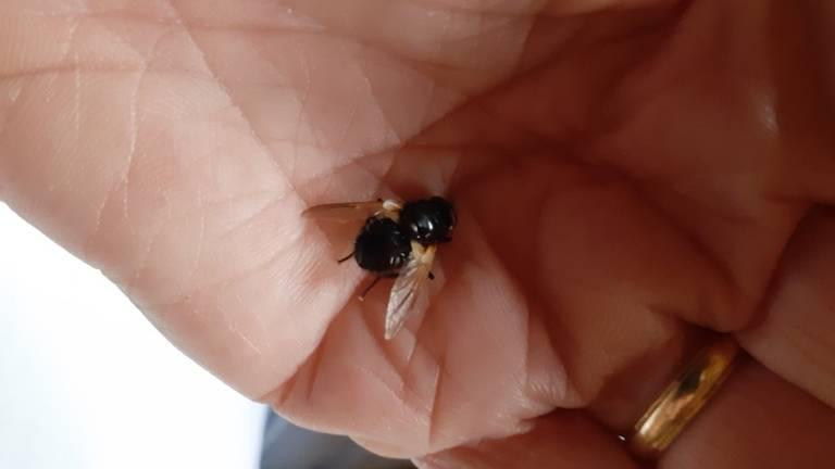 Een schorsvlieg (foto: Mariet van de Wiel).