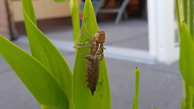 De larve van de grote keizerlibel (foto: Piet Lauwers).