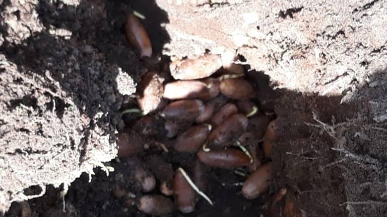 Een enorme wintervoorraad eikels van de bosmuis (foto: Cor Meeuws)
