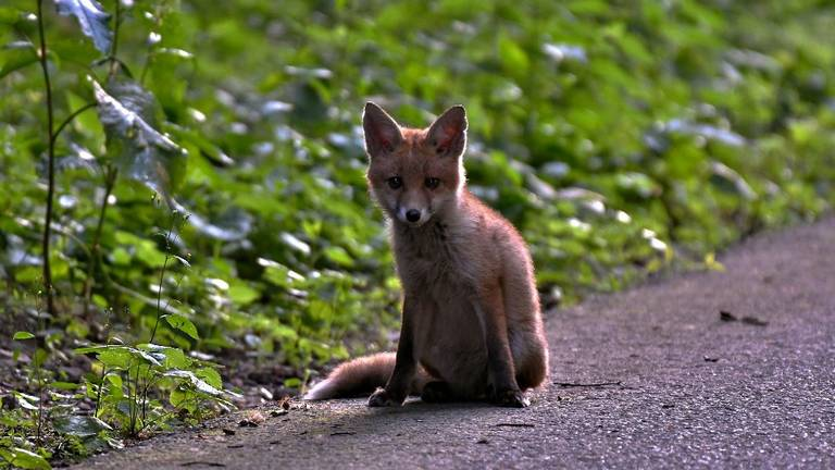 Een jonge vos op weg (foto:  Yvonne Huijbens via Pixabay).